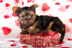 Valentine teacup Yorkie puppy. Teacup Yorkshire terrier puppy with heart printed fabric for Valentine Royalty Free Stock Images