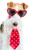 Valentine Terrier Fotografia de Stock