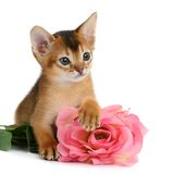 Valentine theme kitten with pink rose Royalty Free Stock Photography