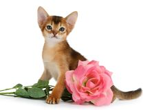 Valentine theme kitten with pink rose Royalty Free Stock Photo