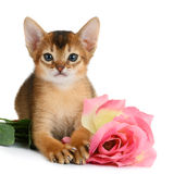 Valentine theme kitten with pink rose Royalty Free Stock Photos