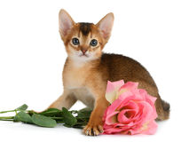 Valentine theme kitten with pink rose Stock Images