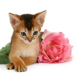 Valentine theme kitten with pink rose Royalty Free Stock Images