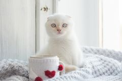 Valentine theme white kitten Stock Photography