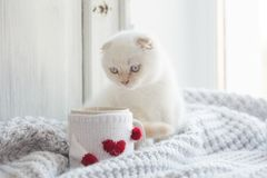 Valentine theme white kitten Stock Images