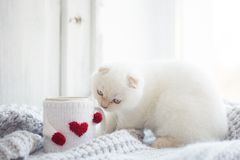 Valentine theme white kitten Royalty Free Stock Photos