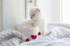 Valentine theme white kitten Royalty Free Stock Photo