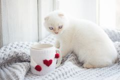 Valentine theme white kitten Stock Image
