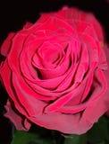 valentine Une fin vers le haut de macro tir d'une rose rouge Images libres de droits