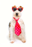 Valentine Wire Fox Terrier Royalty Free Stock Photography