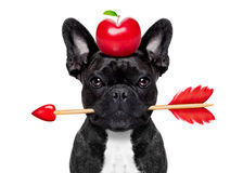 Valentines arrow dog. Valentines french bulldog dog in love holding a cupids arrow with mouth apple in heart shape on the head  ,isolated on white background Stock Photos