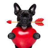 Valentines arrow dog. Valentines french bulldog dog in love holding a cupids arrow with mouth and holding a big heart, isolated on white background Stock Image