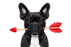 Valentines arrow dog. Valentines french bulldog dog in love holding a cupids arrow with mouth ,isolated on white background Royalty Free Stock Photo