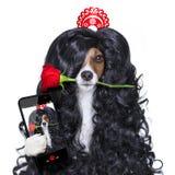 Valentines chez le chien espagnol de lola d'amour Photos stock