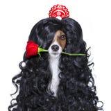 Valentines chez le chien espagnol de lola d'amour Photographie stock