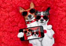 Valentines couple of dogs in love Royalty Free Stock Photos
