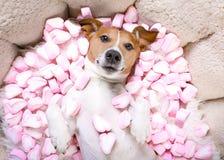 Valentines d'amour de chien Photographie stock