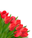 Valentines day background. Beautiful tulip flowers Royalty Free Stock Image
