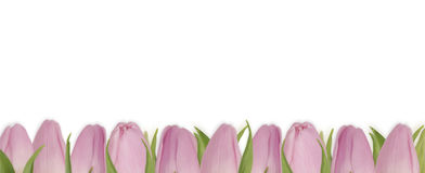 Valentines Day background with pink tulips. Bouquet of tulips isolated on white background. Tulips at border of image with copy space for text Stock Photo