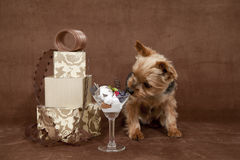 Valentines day dog. A yorkshire terrier enjoying some sweets on valentines day, with valentines gift boxes on a chocolate colored background Royalty Free Stock Images