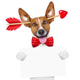Valentines day dog crazy in love. Jack russell dog crazy and silly in love   on valentines day , isolated on white background , arrow through head Stock Image