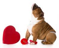 Valentines day dog. English bulldog dressed up on white background Stock Photos