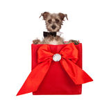 Valentines Day Dog Present. A cute little terrier dog wearing a black bowtie coming out of a red fabric gift bag with a bow and rhinestone on it Stock Photography