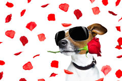 Valentines day dog rose in mouth. Jack russell dog in love on valentines day, rose in mouth, with sunglasses and cool gesture, isolated on white background full Royalty Free Stock Photography