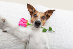 Valentines day dog selfie. Jack russell  dog looking and staring at you   ,while lying on bed with valentines rose in mouth, taking a selfie , in love Royalty Free Stock Photography