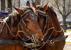 Valentines Day. Lovely horse couple,taking time for each other royalty free stock photography