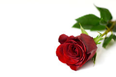 Valentines Day rose Stock Photography