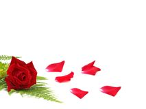 Valentines day rose Royalty Free Stock Images