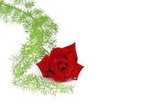 Valentines day rose Stock Photos
