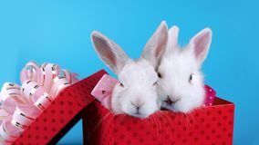 Valentines day sale concept, lovely couple of fluffy bunnies with pink bows stock footage