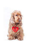 Valentines day spaniel puppy Stock Image