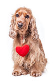 Valentines day spaniel puppy. Isolated on white background Stock Image
