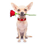 Valentines dog. Valentines chihuahua dog holding a  red rose with mouth , isolated on white background Stock Photography