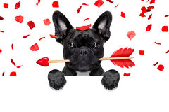 Valentines dog. French bulldog dog crazy and silly in love   on valentines day , rose petals flying and falling as background, isolated on white ,arrow  in mouth Stock Image