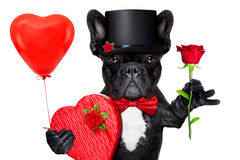 Valentines dog. Valentines french bulldog dog holding a present box , a balloon and  a  red rose , isolated on white background Stock Photos