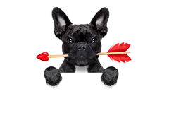 Valentines dog in love Royalty Free Stock Photos