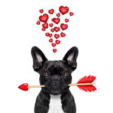 Valentines dog in love Royalty Free Stock Image
