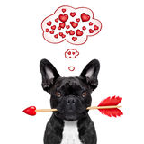 Valentines dog in love. Valentines french bulldog dog in love holding a cupids arrow with mouth ,thinking and hoping for love in life,  isolated on white Stock Photography