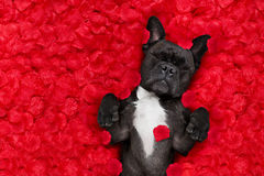 Valentines dog in love Stock Image