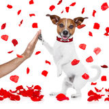 Valentines dog in love with high five paw Royalty Free Stock Images