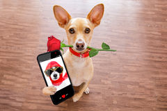Valentines dog in love with rose in mouth Stock Images