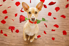 Valentines dog in love with rose in mouth. Chihuahua dog in love on valentines day, rose in mouth, with sunglasses and cool gesture, on wood background Royalty Free Stock Images