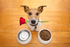 Valentines dog in love with rose in mouth. Jack russell dog in love on valentines day, rose in mouth, food and water bowls and cool gesture,isolated on wood Stock Photography