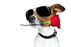 Valentines dog in love with rose in mouth Royalty Free Stock Photo