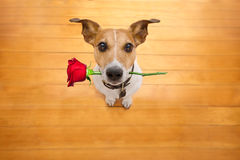Valentines dog in love with rose in mouth Royalty Free Stock Images