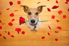 Valentines dog in love with rose in mouth royalty free stock photography